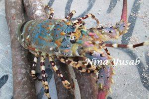 lobster biru