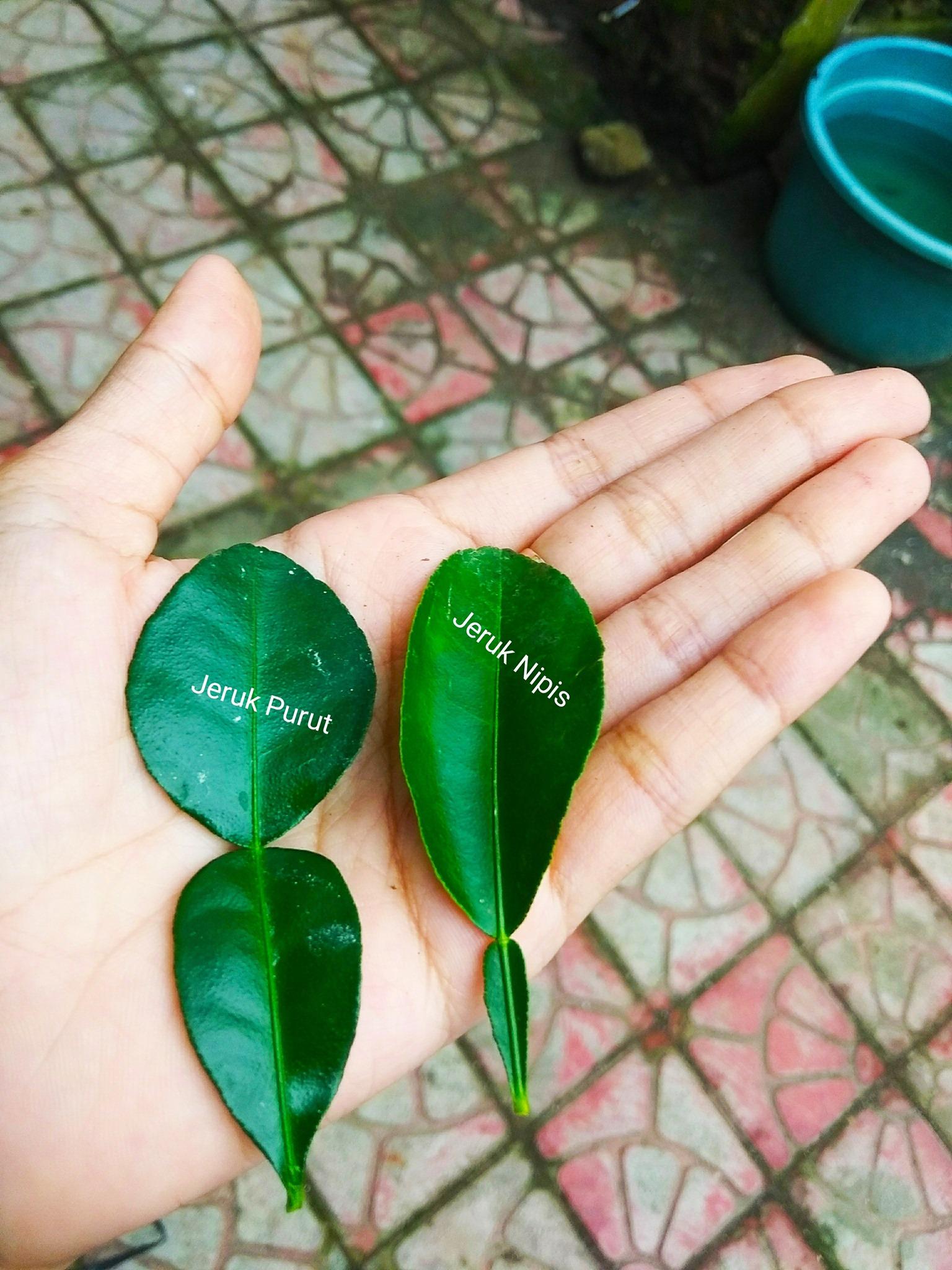 Meskipun 2 daun jeruk ini terlihat sama tapi sebenarnya beda.